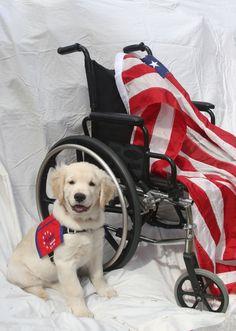 Golden Patriot Service Dog - Justice