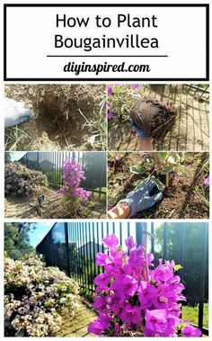 Adding Color Outdoors: How to Plant Bougainvillea