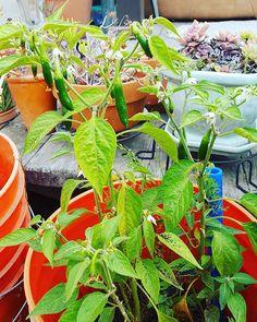 #serrano #chiles #TeachEverywhereGrowAnywhere learn-and-grow.org