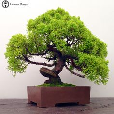 Herons Bonsai Chinese Juniper Bonsai Tree   Herons Bonsai The Chinese Juniper is an evergreen shrub or small tree and is one of the most popular species for bonsai. It looks lovely and is easy to keep, and can survive well in most climates. It has dark to mid-green cord like foliage and bears spherical fruits, which ripen to black. Chinese Junipers eventually develop gnarled, twisted trunks, which makes them ideal for bonsai with driftw