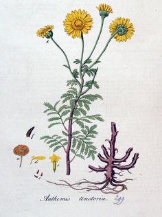 Anthemis tinctoria Geel/Oranje