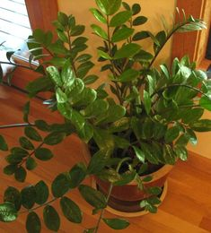 Written by someone who has killed many houseplants, this article extolls the virtues of the ZZ plant, the easiest and prettiest houseplant ever! Glossy, tough, healthy leaves and minimal requirements