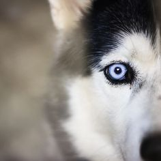 I want this Huskey!