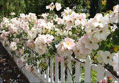 Sally Holmes, a wonderful rose!