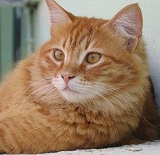 In the United States, approximately 1.5 to 3 percent of healthy cats are infected with FIV