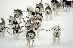 iditarod 2013 - great dogs  :)