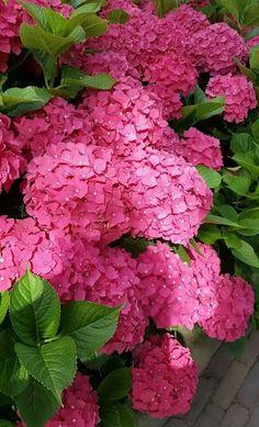 Hortensias Hortensia Hydrangea, Hydrangea Garden, Hydrangea Flower, All Flowers, Amazing Flowers, Beautiful Flowers, Flower Garden Plans, Flower Boxes, Garden Planning