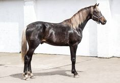 Horizon, a DNA-tested silver black KWPN stallion (2012) by Amoureux out of Distella (silver) by Domino Van T'Heike.