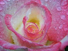 Macro photography of flowers right after a gentle rain captures the beauty of blooms up close, in a way we seldom take the time to appreciate. The rain has stopped, but the rose is still playing with the puddles of rain drops. Beautiful Flowers Garden, Beautiful Roses, Beautiful Gardens, Rose Petals Image, Rose Illustration, Rain Storm, Colorful Roses, Rose Photos, Orange Roses