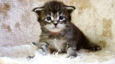 Kurt-3W-1 #mainecoon #katzenbaby #kitten