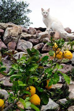 greek cat by the lemon tree, Mani Lakonia Greece Ελληνικά Ελλαδ. greek cat by the lemon tr Cat Fence, White Cats, Greece Travel, Fruit Trees, Beautiful Cats, Cats And Kittens, Cats 101, I Love Cats, Pet Birds