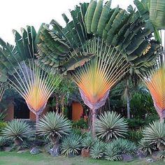 Deslumbre dos trópicos! Ravenala madascariensis, ou arvore do viajante.