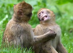 Two Barbary apes at the animal park which city authorities want to close, in Burg Stargard, Germany. Animalia - The Boston Globe