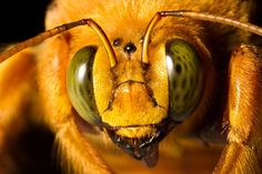 Portrait of a Yellow Mangangá. The yellow mangangá is the male of the specie Xylocopa augusti, one of the biggest native bees of South America.