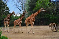 """""""Just act natural and they won't notice..."""" #melbourne #zoo #australia #giraffe #zebra"""