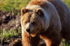 What is the meaning of bear tattoos Bear Images, Bear Photos, Bear Pictures, Pictures Images, Romania Facts, Animal Espiritual, Photo Ours, Teddy Bear Tattoos, Especie Animal