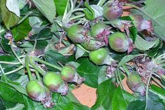 In favourable conditions fruit trees set more fruit than is ideal. Fruit thinning involves removing excess fruit to improve fruit size and quality. It is carried out on apples, pears, plums, peaches and nectarines. Apple Tree, Growing Plants, Fruit Trees, Apples, Image, Garden Ideas, Yard, Gardening, Patio