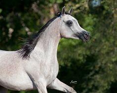 The beautiful LL Bint Jessenia, a grey Egyptian Arabian Mare. Arabians Ltd in Waco, Texas.