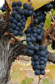 Pinot Noir ( dt. Spätburgunder , ital. Pinot nero ) - Südtirol , Franciacorta