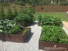 Warzywa uprawiane w skrzyniach, pojemnikach - strona 73 - Forum ogrodnicze - Ogrodowisko