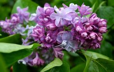 Flieder fladern im Frühling Plants, Branches, Lilac, Lawn And Garden, Plant, Planets
