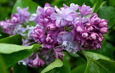 Flieder fladern im Frühling Plants, Branches, Lilac Bushes, Garten, Planters, Plant