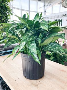 22 Stunning Aglaonema Varieties | Chinese Evergreen Types Persian Shield Plant, Indore Plants, Chinese Evergreen Plant, Lucky Plant, Air Cleaning Plants, Backyard Garden Design, Types Of Plants, Growing Plants, Plant Care