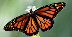 New Research Links Neonicotinoid Pesticides to Monarch Butterfly Declines | Common Dreams | Breaking News & Views for the Progressive Community
