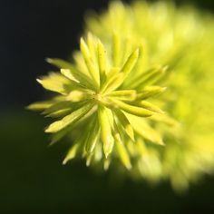 Blur-spective. #macro #olloclip #olloclipmacro #weeklymobilemacro #plants