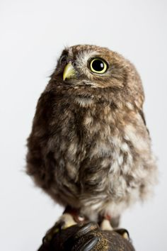 Little Owl by MaMiFreak on DeviantArt Owl Bird, Pet Birds, Animals And Pets, Cute Animals, Owl Pet, Owl Pictures, Beautiful Owl, Little Owl, Animal Totems