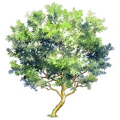 Guava tree vector material free buckle PNG and Vector Landscape Sketch, Landscape Drawings, Landscape Design, Watercolor Trees, Watercolor Paintings, Tree Render, Guava Tree, Tree Sketches, Photoshop Images