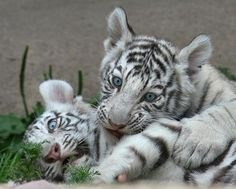 llbwwb: For the Tiger Lovers:) White Bengal Tiger cubs. Photo by Metalhorse. White Tiger Cubs, White Bengal Tiger, Black Tigers, Pretty Animals, Cute Animals, Humorous Animals, Wild Life, Beautiful Cats, Animals Beautiful