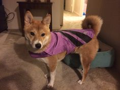 Shiba Inu getting ready for a rainy day. She hates the putting it on process but as soon as it is on she struts proudly. Stubborn shiba