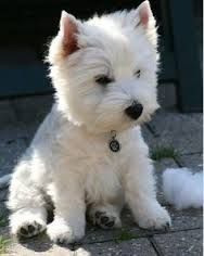 Have you ever seen a Westie cock their head to the side? The West Highland Terrier is a breed to end all breeds. Cute Puppies, Cute Dogs, Dogs And Puppies, Doggies, Westie Puppies, Terrier Puppies, Awesome Dogs, Cute Small Dogs, Samoyed Dogs