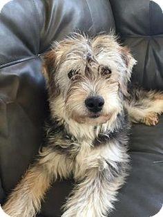 Livonia, MI - Poodle (Miniature)/Husky Mix. Meet Op litter - Shaggy, a dog for adoption. http://www.adoptapet.com/pet/15012237-livonia-michigan-poodle-miniature-mix