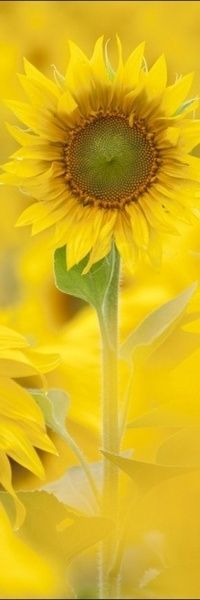 magic #yellow, #sunflower........make a wish! For all the people that are sad.....today.