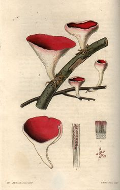 William Miller. Fungi 171. 1823. i can hear the quiet in the forest when i look at details like this...