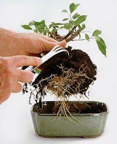 Bonsai… how to maintain a bonsai plant