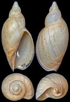 Odontocymbiola pescalia Clench & Turner, 1964
