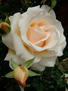 Captivating Why Rose Gardening Is So Addictive Ideas. Stupefying Why Rose Gardening Is So Addictive Ideas. Love Rose, Pretty Flowers, White Roses, Pink Roses, Coming Up Roses, Hybrid Tea Roses, Beautiful Roses, Exotic Flowers, English Roses