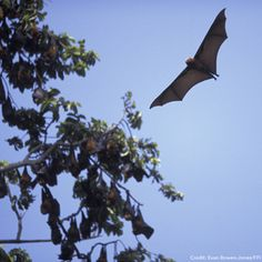 #FunFact Unlike insectivorous #bats Pemba flying foxes use their vision instead of echolocation to find fruit. Read about our #conservation work with Pemba flying foxes here: http://www.fauna-flora.org/species/pemba-flying-fox/