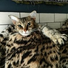 Izzie Cat Thomson aka Sylvana Quincunx