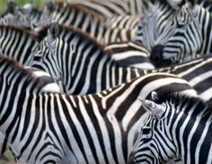 Considering a Safari? Here are 7 things you should consider before you go on Safari. A Safari is an experience of a lifetime, so it's important no matter what type of safari you go on. Safari Holidays, Next Holiday, African Safari, Tanzania, Animals, Animales, Animaux, Animais, Animal