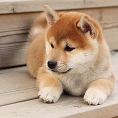 Cute Puppy Meme, Cute Puppy Breeds, Dog Breeds, Cute Animals Puppies, Cute Puppies, Baby Animals, Funny Animals, Shiba Puppy, Akita Dog
