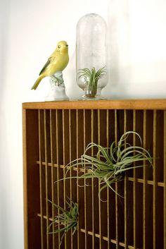 vintage letterpress drawer with air plants