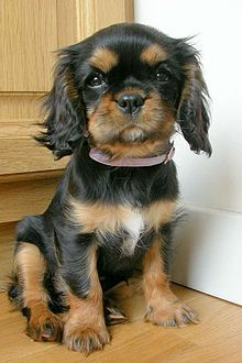 Everything we all love about the Fun Cavalier King Charles Spaniel Puppy Cavalier King Spaniel, Cavalier King Charles Dog, King Charles Spaniel, Rei Charles, I Love Dogs, Cute Dogs, Spaniel Puppies, Retriever Puppies, Lap Dogs
