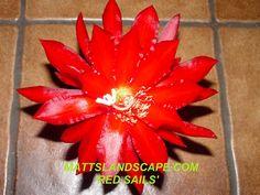 Epiphyllum hybrid 'Red Sails'