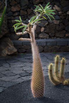 Pachypodium Lamerei, #Cactus garden - #Lanzarote, Canary Islands - www.gdecooman.fr portfolio, cours et stages photo à Lille, visites guidées de Lille