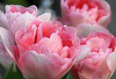 tulips   Flickr - Photo Sharing!
