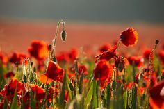 Poppies Of The South Downs - Saddlescombe